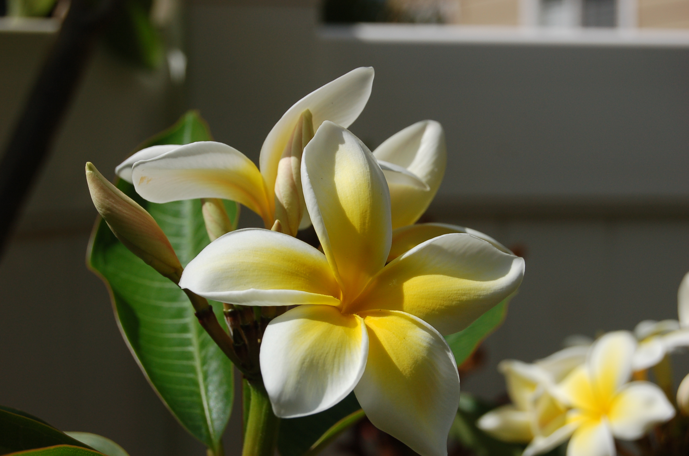 Plumerias in Bloom